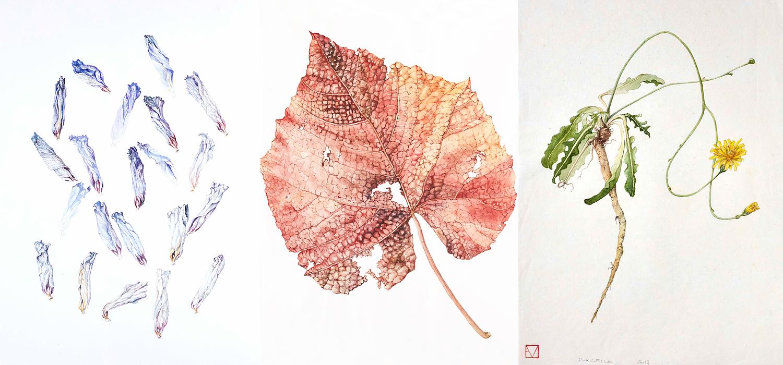 elisabeth vitou artiste botanique-cours de dessin botanique-technique aquarelle botanique