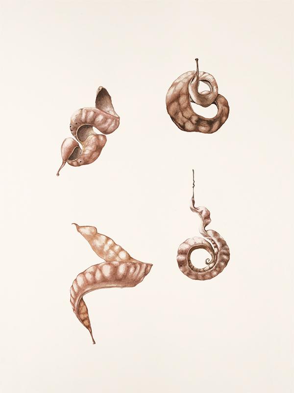 elisabeth vitou-artiste botanique-accacia-aquarelle botanique