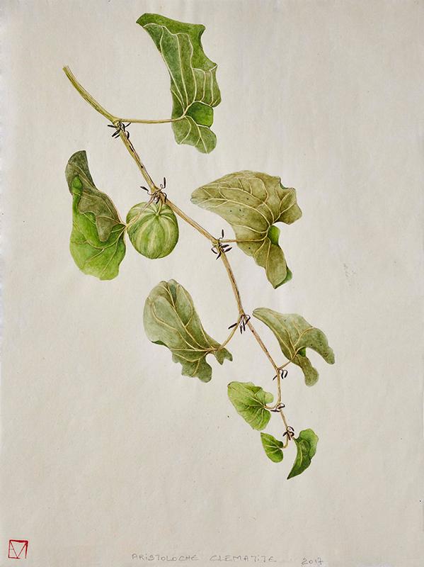 elisabeth vitou artiste botanique-aristoloche clematite-aquarelle botanique-cours de dessin botanique