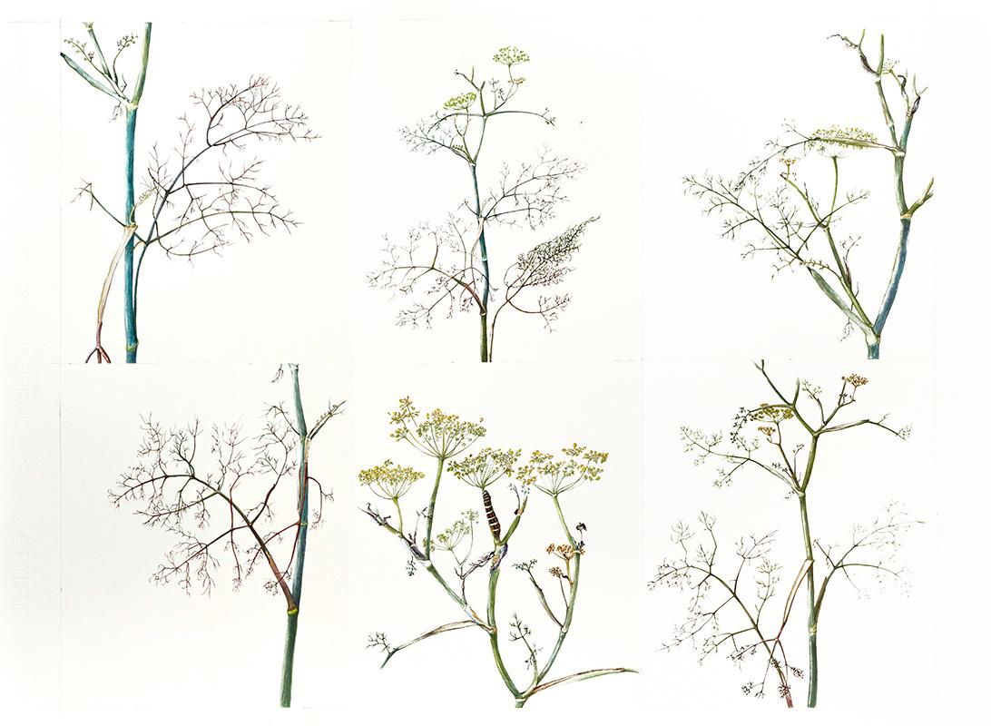 elisabeth vitou-artiste botanique-geranium robertianum-stage dessin botanique