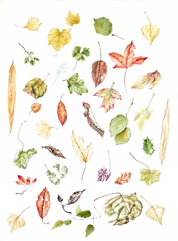elisabeth vitou artiste botanique-feuilles d'automne-feuilles botanique-apprendre le dessin botanique