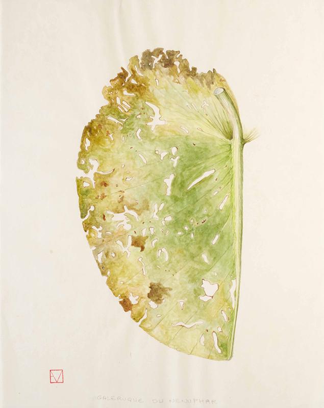 elisabeth vitou artiste botanique-galeruque du nenuphar-aquarelle botanique