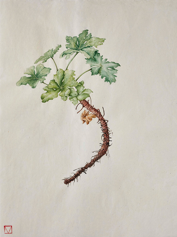 elisabeth vitou-artiste botanique-geranium macrorrhyzum-aquarelles botanique paris-stage dessin botanique