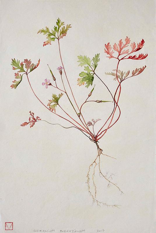 elisabeth vitou-artiste botanique-geranium robertianum-stage dessin botanique-fleurs
