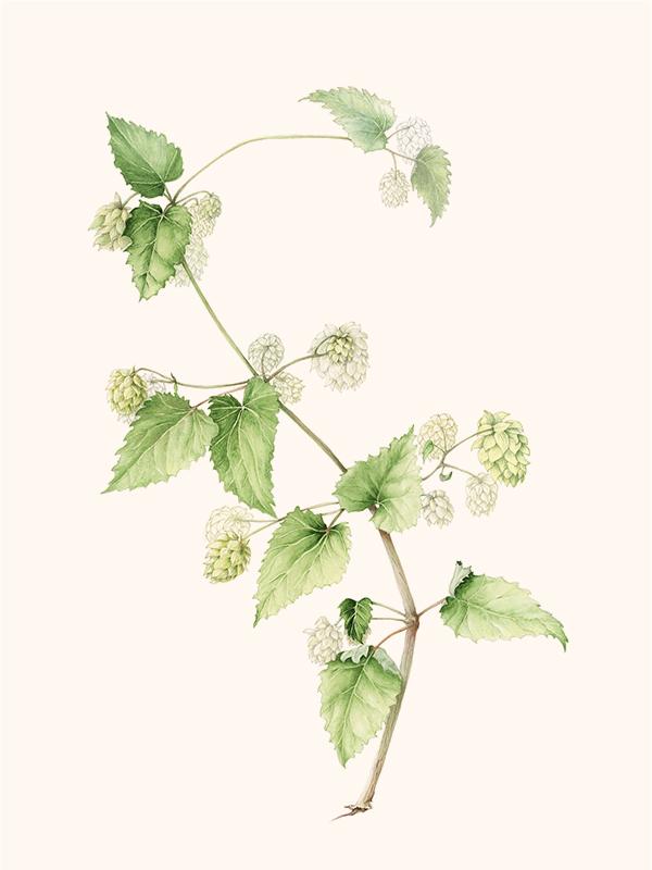 elisabeth vitou artiste botanique-houblon-aquarelle botanique paris-apprendre le dessin botanique