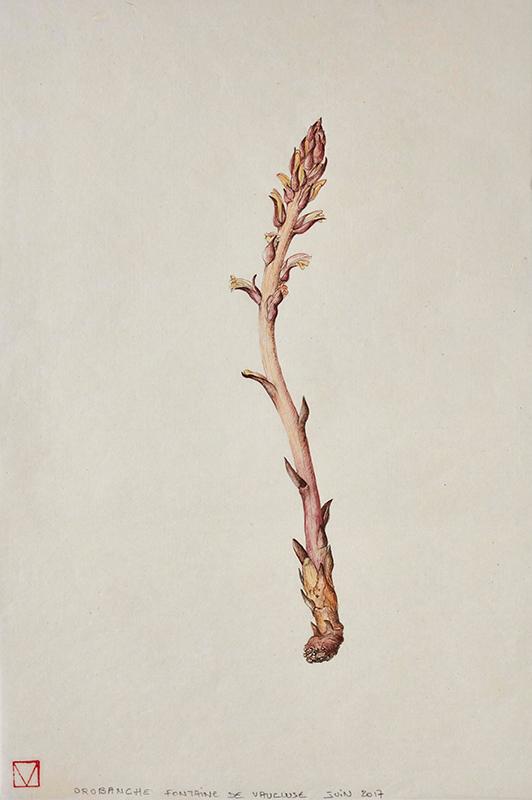 elisabeth vitou-artiste botanique-orobanche-stage dessin botanique-apprendre le dessin botanique