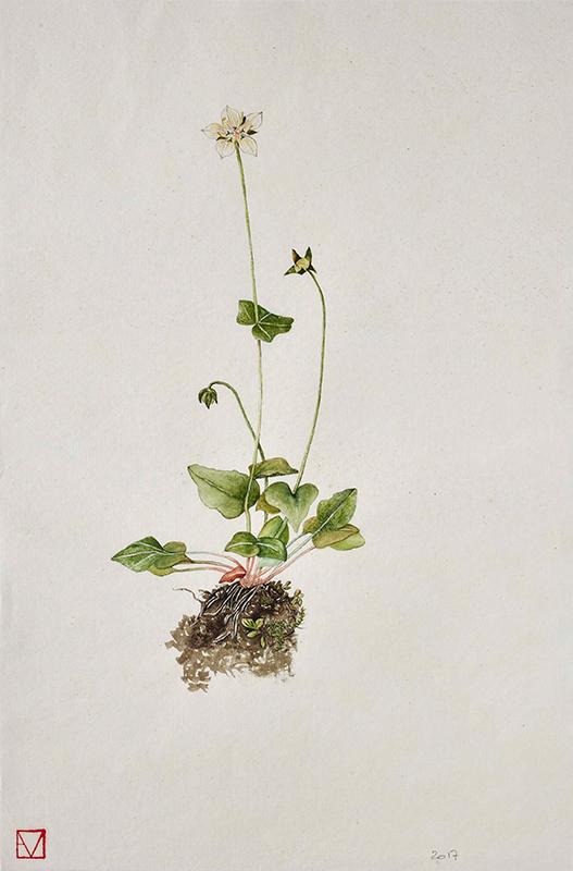elisabeth-vitou-artiste-botanique-parnassie-aquarelle-botanique-peinture-botanique-paris