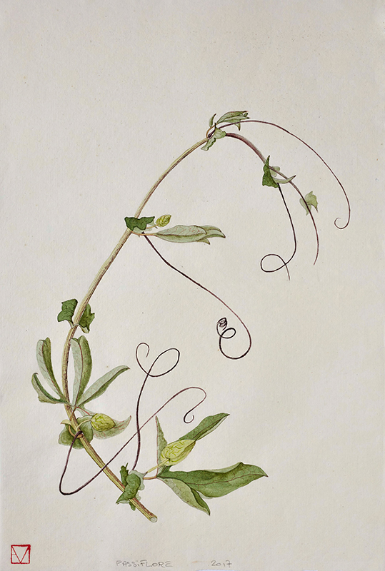 elisabeth vitou-artiste botanique-passiflore-stage dessin botanique