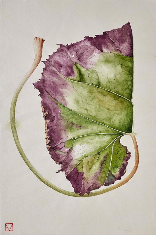 elisabeth vitou-artiste botanique-petassite-aquarelle botanique