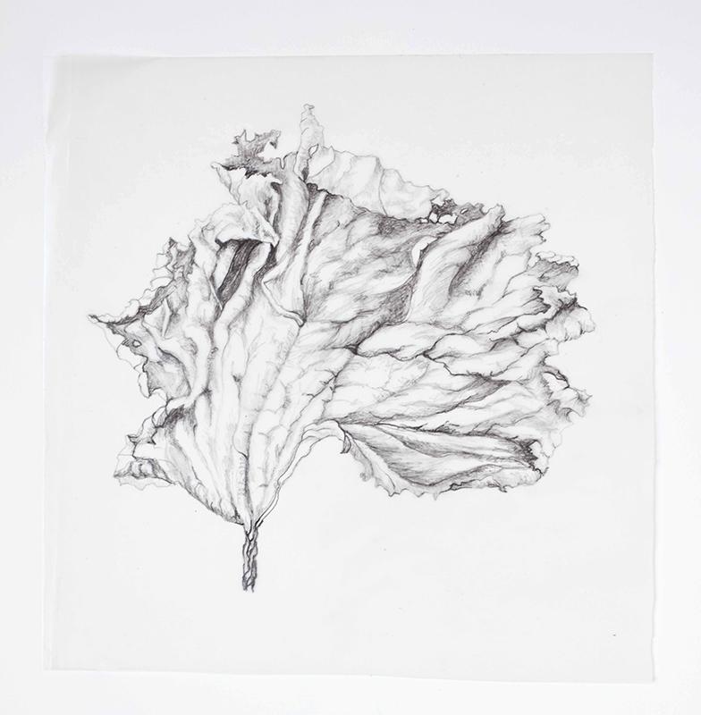 elisabeth vitou-artiste botanique-petassite-cours d'illustration botanique-calque botanique