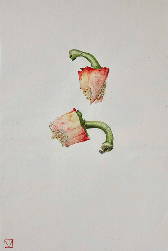 elisabeth vitou artiste botanique-poivron-aquarelle botanique-legumes-cours de dessin botanique