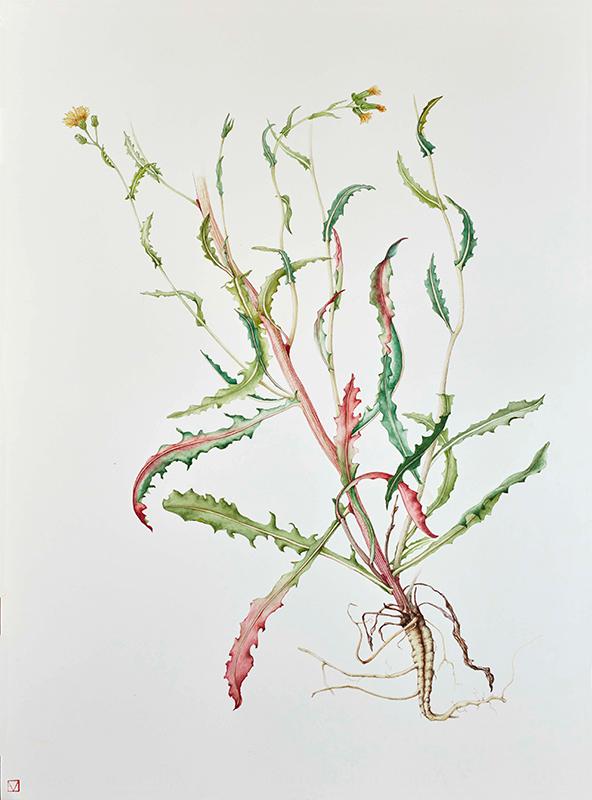 elisabeth vitou artiste botanique-sonchus-aquarelle botanique paris